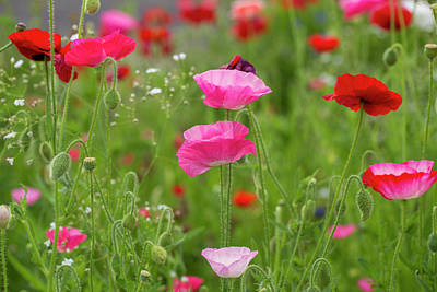 Photograph - Delightful Spring Poppies by Lynn Hopwood