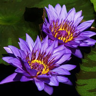 Photograph - Delightful Violet Water Lilies by Bruce Bley