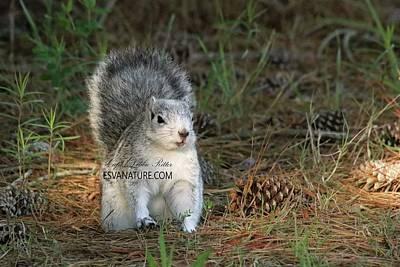 Photograph - Delmarva Fox Squirrel A by Captain Debbie Ritter
