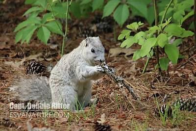 Photograph - Delmarva Fox Squirrel by Captain Debbie Ritter