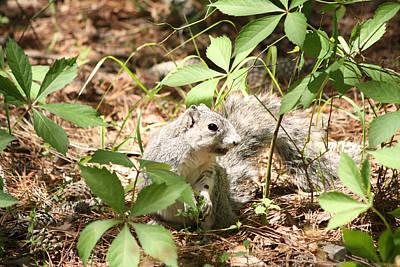 Photograph - Delmarva Fox Squirrel - Local Rock Star by Captain Debbie Ritter