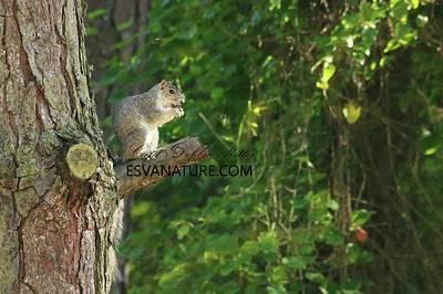 Photograph - Delmarva Fox Squirrel On Loblolly by Captain Debbie Ritter