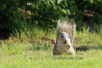 Photograph - Delmarva Fox Squirrel With Pinecone 2 by Captain Debbie Ritter