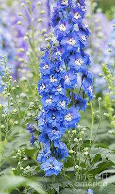 Photograph - Delphinium Aurora Blue  by Tim Gainey