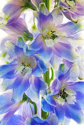 Photograph - Delphinium Finery by Leda Robertson