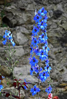 Photograph - Delphinium In The Rose Garden  by Sarah Loft