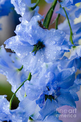 Blue Delphinium Photograph - Delphinium With Raindrops by Jennifer Booher