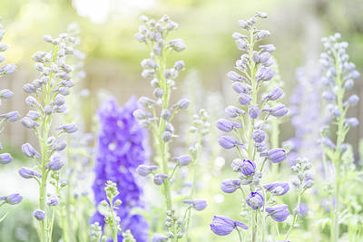 Photograph - Delphiniums by Mary Angelini