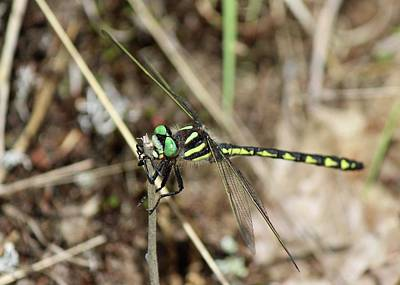 Photograph - Delta-spotted Spiketail  Male by David Pickett