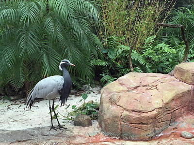 Photograph - Demoiselle Crane by Aimee L Maher Photography and Art Visit ALMGallerydotcom