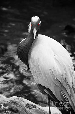 Demoiselle Crane Photograph - Demoiselle Crane Black And White by Photos By Cassandra