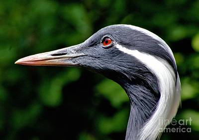 Demoiselle Crane Photograph - Demoiselle Crane by Patti Smith