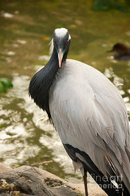 Demoiselle Crane Photograph - Demoiselle Crane by Photos By Cassandra
