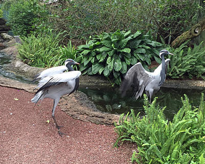 Palm Photograph - Demoiselle Cranes by Aimee L Maher Photography and Art Visit ALMGallerydotcom