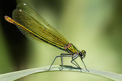 Dragonflies Photograph - Demoiselle by Ian Hufton
