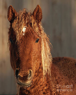 Denali Curly Horse Art Print by Eric Chamberland