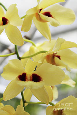 Art History Meets Fashion Rights Managed Images - Dendrobium Gatton Sunray Orchid Royalty-Free Image by Judy Whitton