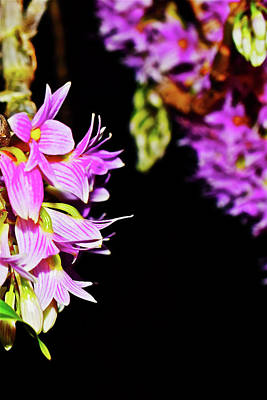 Photograph - Dendrobium Miyakei Orchids At The Conservatory 4 by Janis Nussbaum Senungetuk