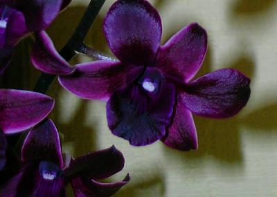 Dendrobium Photograph - Dendrobium Nobile Orchid by James Temple