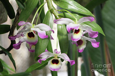 Photograph - Dendrobium Nobile Orchids by Judy Whitton
