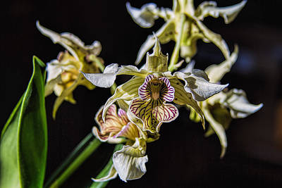 Photograph - Dendrobium Orchid by Alana Thrower
