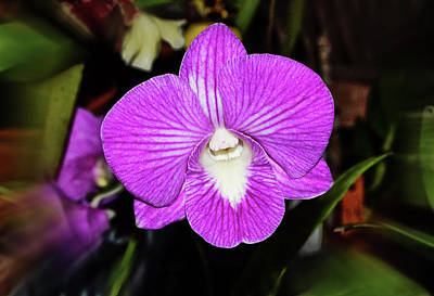 Photograph - Dendrobium Salaya Stripe 004 by George Bostian