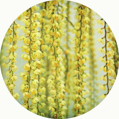 Orchid Photograph - Dendrochilum Orchid by MingTa Li