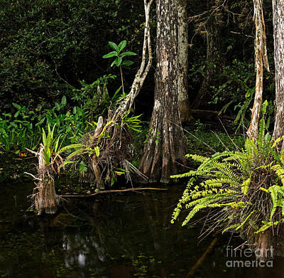 Epiphyte Photograph - Dense Everglades Swamp by Matt Tilghman