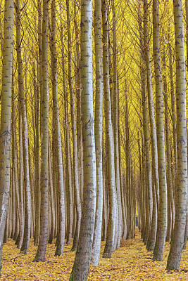 Photograph - Dense Forest Of Poplar Trees In Boardman Oregon During Fall by David Gn