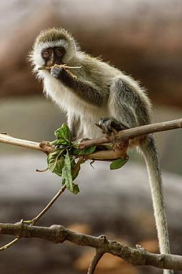 Photograph - Dental Floss Vervet Monkey by Janis Knight