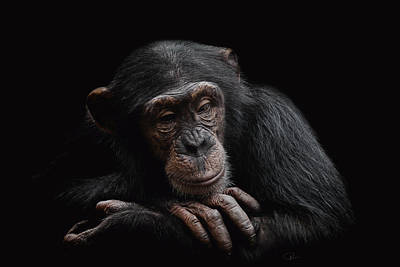 Chimpanzee Photograph - Depression  by Paul Neville