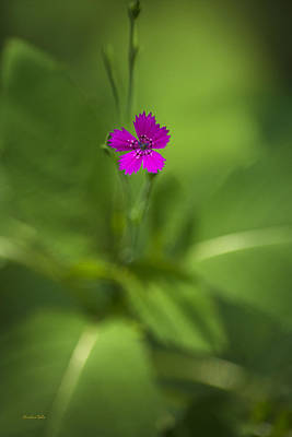 Photograph - Deptford Pink Dianthus Flower by Christina Rollo