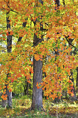 Photograph - Des Plaines River Sugar Maples by Ray Mathis
