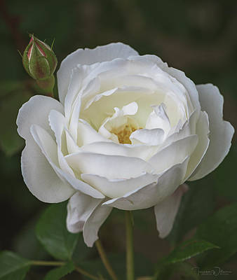 Photograph - Desdemona Rose 1856 by Teresa Wilson