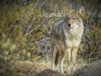 Photograph - Desert And The Coyote by Elaine Malott