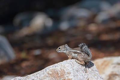 Photograph - Desert Antelope Squirrel by Dan McManus