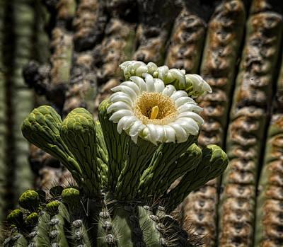 Photograph - Desert Beauty Blooming  by Saija Lehtonen