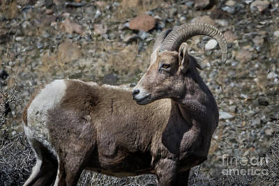 Desert Big Horn Sheep Art Print by Webb Canepa