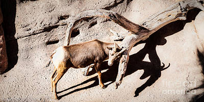 Photograph - Desert Bighorn Ram by Lawrence Burry
