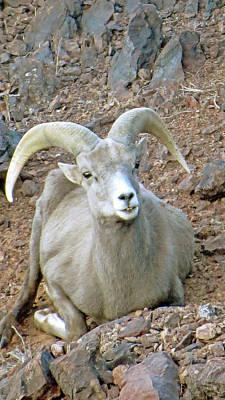 Photograph - Desert Bighorn Ram Sheep by Kay Novy