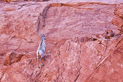 Photograph - Desert Bighorn Sheep At Valley Of Fire by Tatiana Travelways