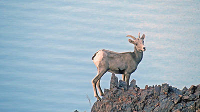 Photograph - Desert Bighorn Sheep Living On The Edge by Kay Novy