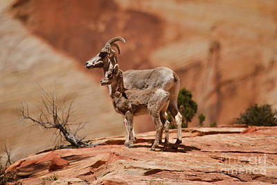 Photograph - Desert Bighorn Sheep by Robert Bales