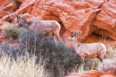 Photograph - Desert Bighorn Sheep  by Tatiana Travelways