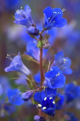 Photograph - Desert Blue Bells Abloom  by Saija Lehtonen