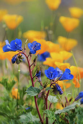 Photograph - Desert Bluebells And Poppies  by Saija Lehtonen