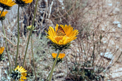 Photograph - Desert Butterfly by Debbie D Anthony