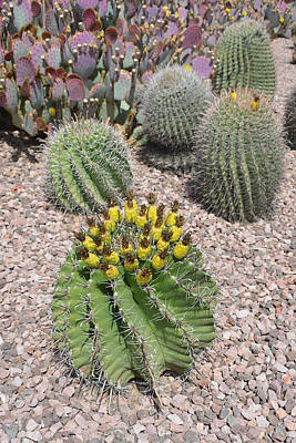 Photograph - Desert Cacti by Aimee L Maher Photography and Art Visit ALMGallerydotcom