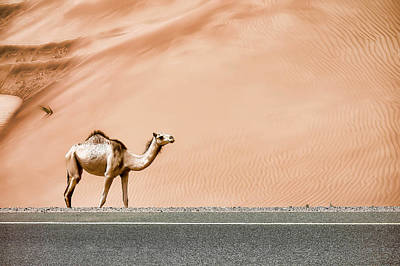 Camels Photograph - Desert Camel by Sedef Isik
