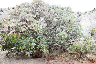 Photograph - Desert Canyon Tree by Andrea Hazel Ihlefeld